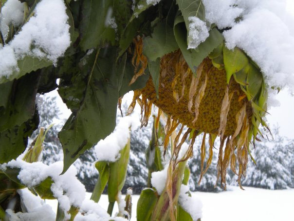Sunflowers weighed down by a heavy October snow