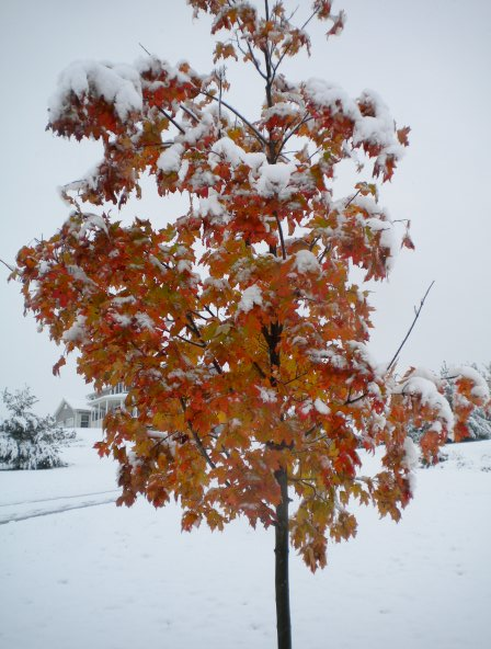Fall tree covered by October snow