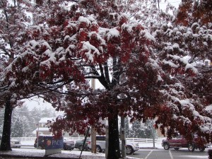 Red Oak in snow